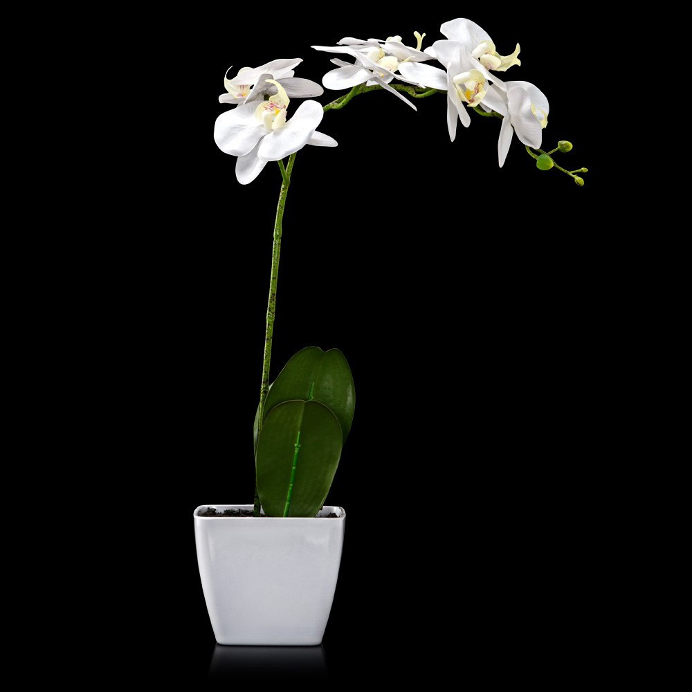 Potted Off White Phalaenopsis Orchid (Flower)